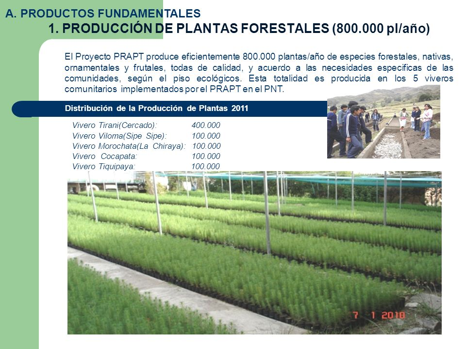 1. PRODUCCIÓN DE PLANTAS FORESTALES (800.000 pl/año) A. PRODUCTOS FUNDAMENTALES El Proyecto PRAPT produce eficientemente 800.000 plantas/año de especi