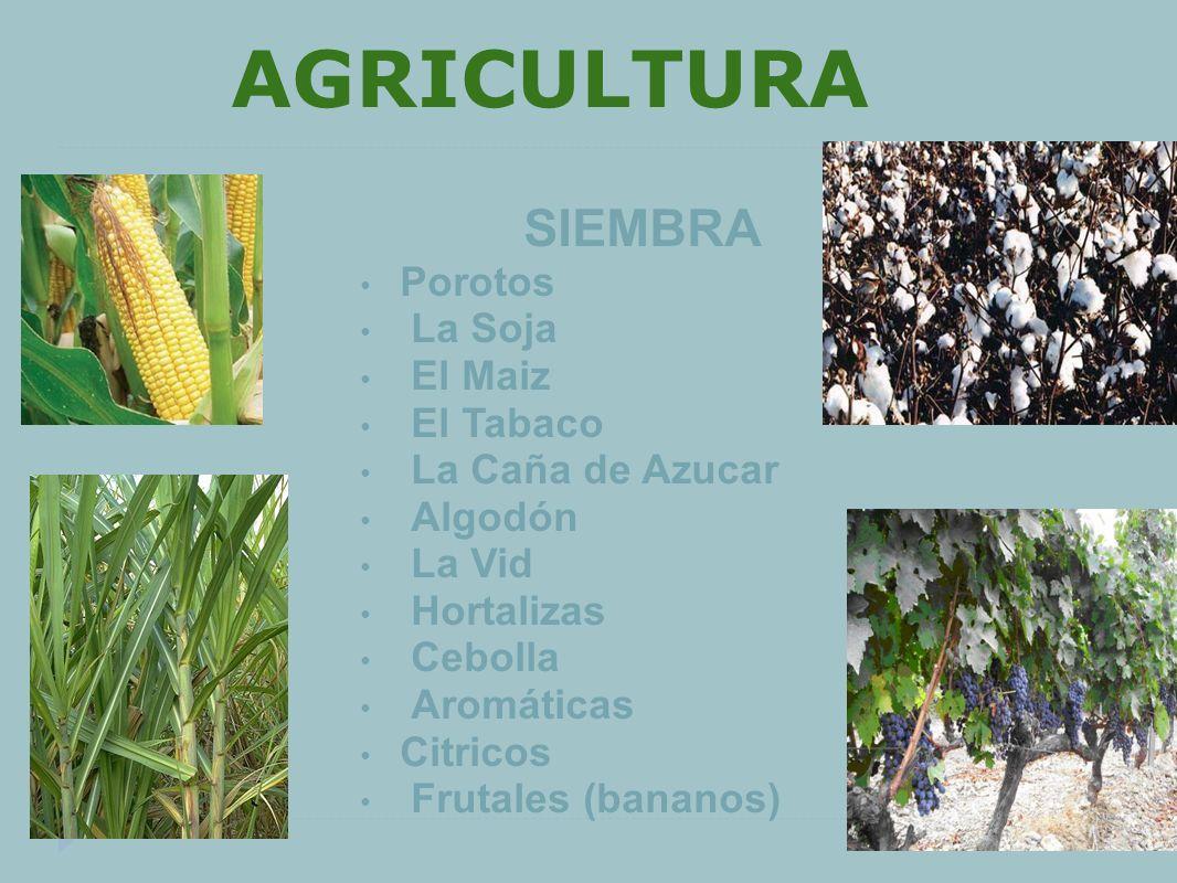 AGRICULTURA SIEMBRA Porotos La Soja El Maiz El Tabaco La Caña de Azucar Algodón La Vid Hortalizas Cebolla Aromáticas Citricos Frutales (bananos)