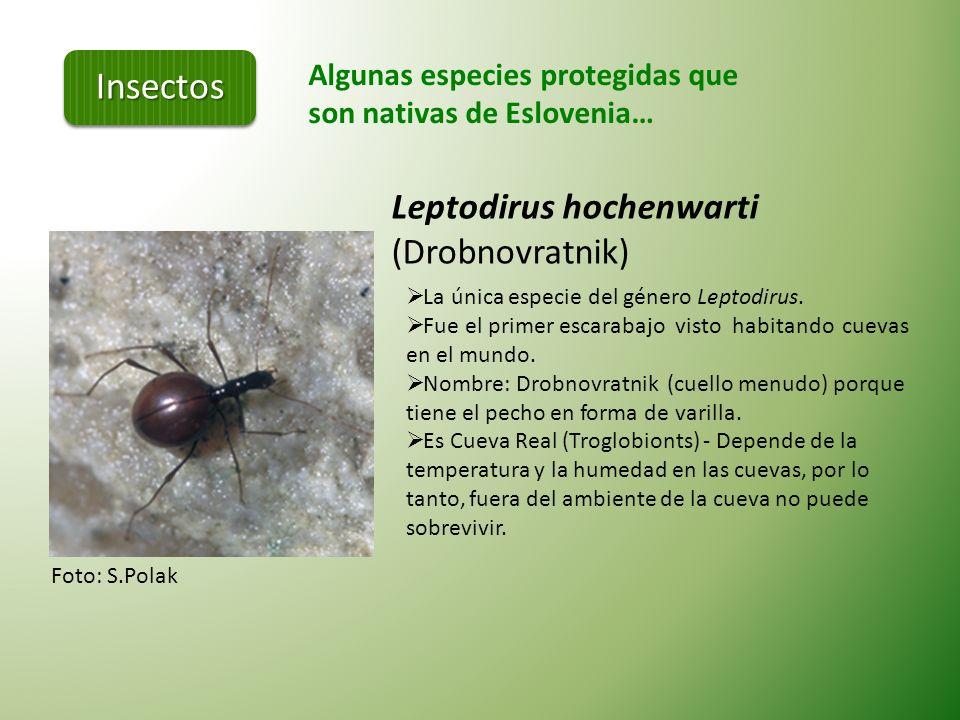 Algunas especies protegidas que son nativas de Eslovenia… Foto: B.Goršak Rosalia alpina (Alpski kozliček) Escarabajo de grande, parte de la familia Ce