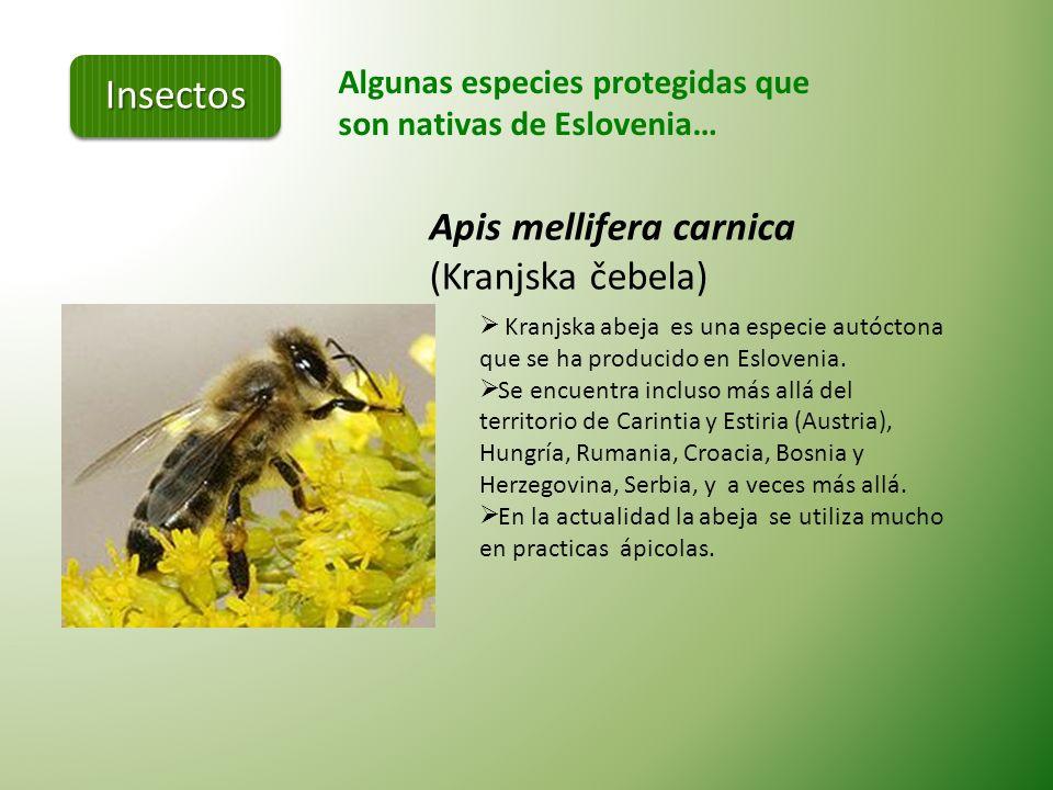 Algunas especies protegidas que son nativas de Eslovenia… Foto: S.Polak Leptodirus hochenwarti (Drobnovratnik) La única especie del género Leptodirus.