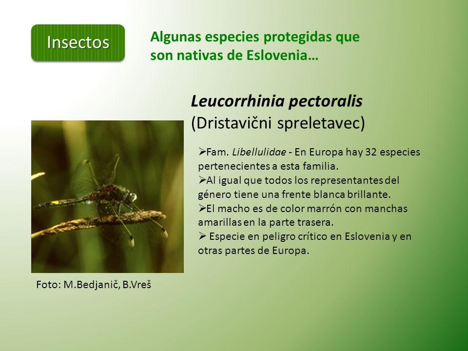 Algunas especies protegidas que son nativas de Eslovenia… Apis mellifera carnica (Kranjska čebela) Kranjska abeja es una especie autóctona que se ha p