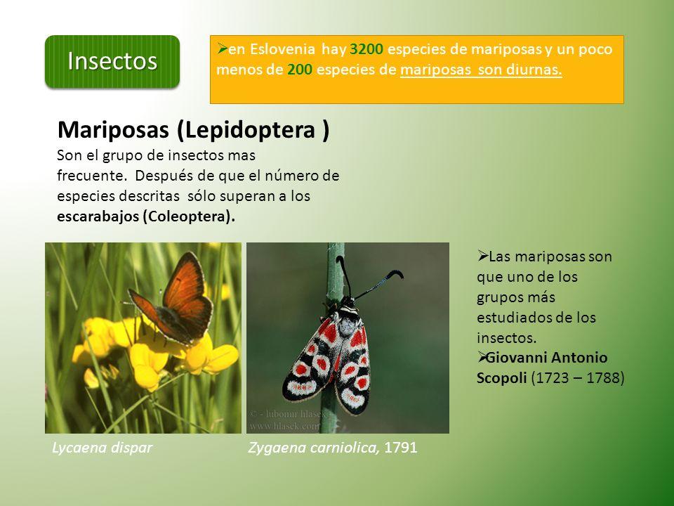 Algunas especies protegidas que son nativas de Eslovenia… Leucorrhinia pectoralis (Dristavični spreletavec) Fam. Libellulidae - En Europa hay 32 espec