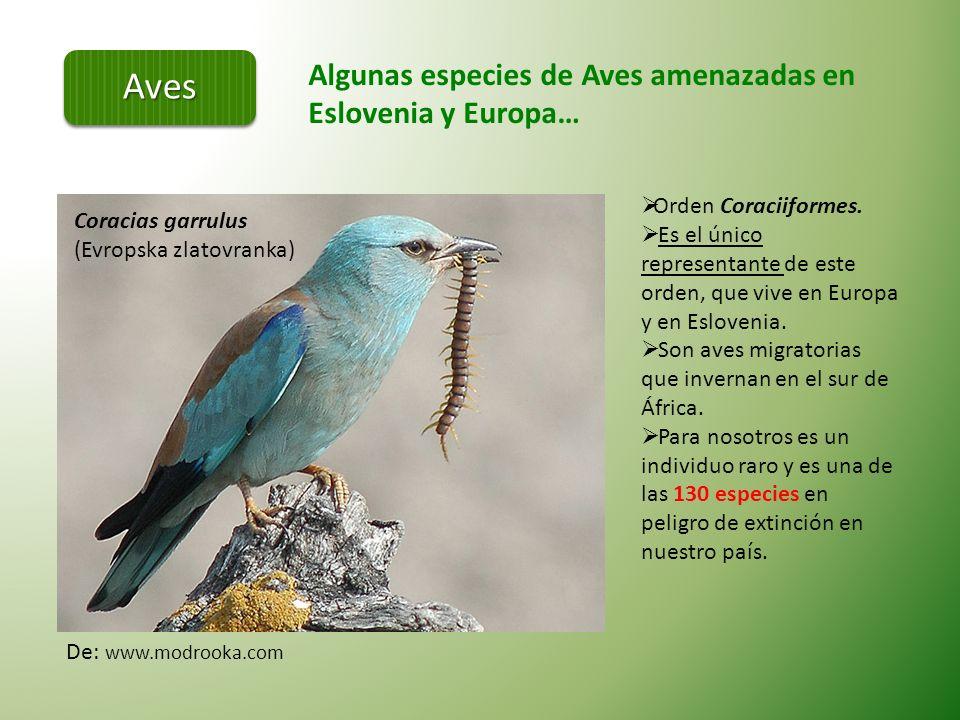 En Europa hay aproximadamente 550 especies de aves, en Eslovenia 383.