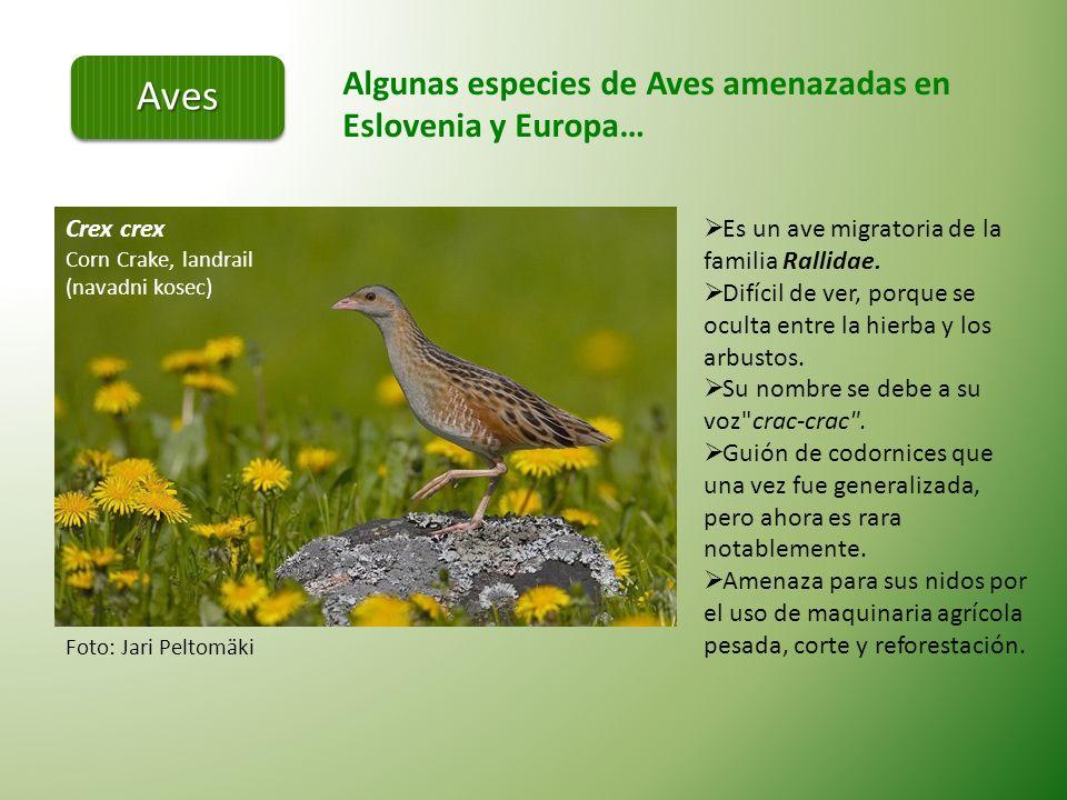 Algunas especies de Aves amenazadas en Eslovenia y Europa… Coracias garrulus (Evropska zlatovranka) Orden Coraciiformes.