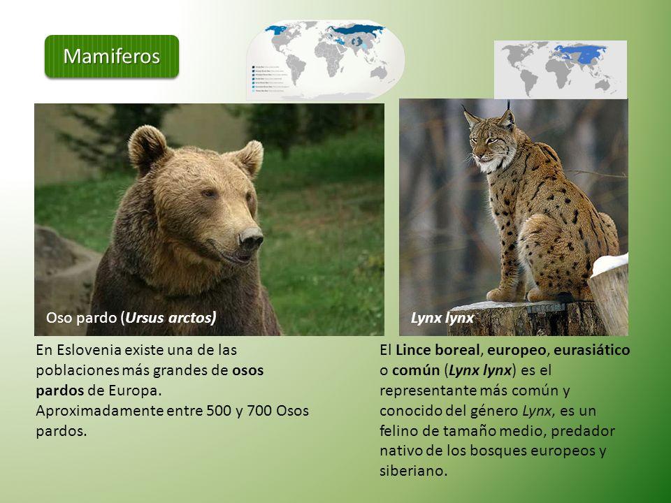 Nuestro rango de mamíferos taxonómica de 8 de cada 30 órdenes de mamiferos conocidos. Hay 85 a 93 especies de mamíferos en Eslovenia. Erizo común (Eri