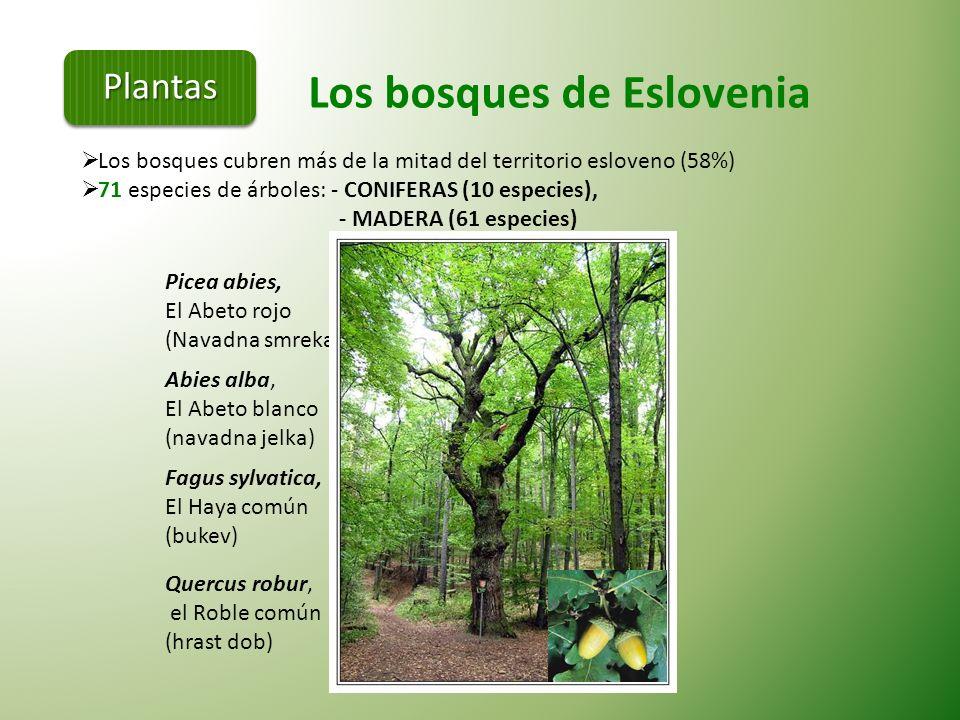 En Eslovenia existe una de las poblaciones más grandes de osos pardos de Europa. Aproximadamente entre 500 y 700 Osos pardos. Oso pardo (Ursus arctos)