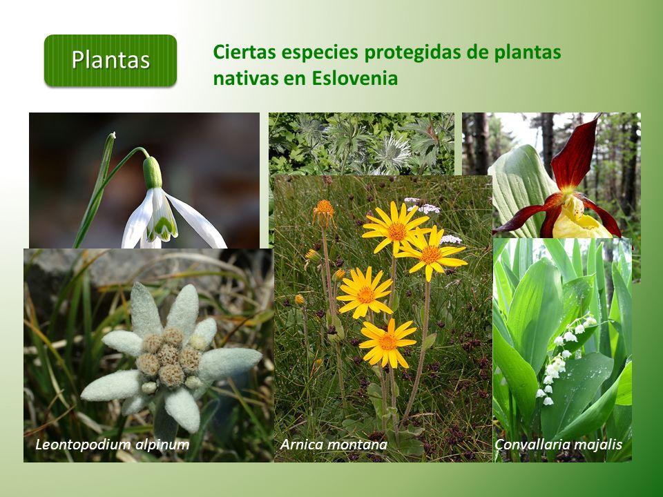 Los bosques de Eslovenia Los bosques cubren más de la mitad del territorio esloveno (58%) 71 especies de árboles: - CONIFERAS (10 especies), - MADERA