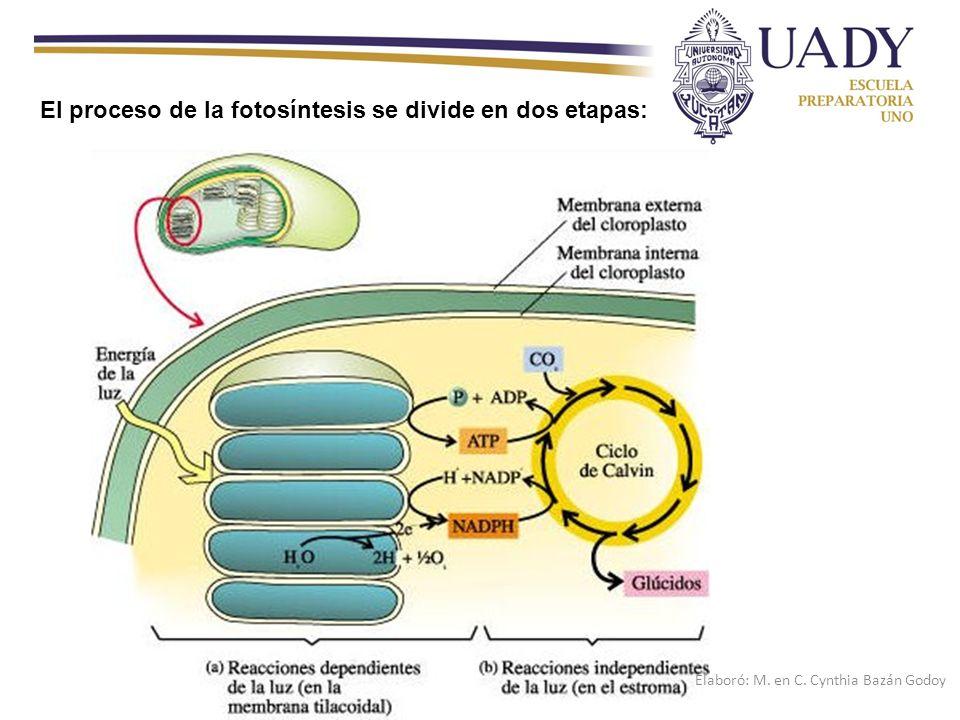 El proceso de la fotosíntesis se divide en dos etapas: Elaboró: M. en C. Cynthia Bazán Godoy