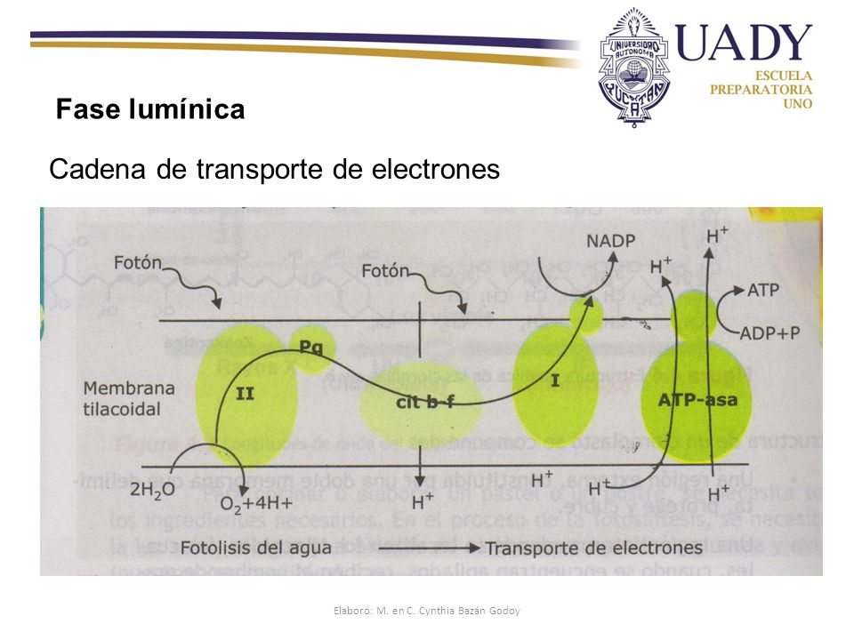 Cadena de transporte de electrones Fase lumínica Elaboró: M. en C. Cynthia Bazán Godoy