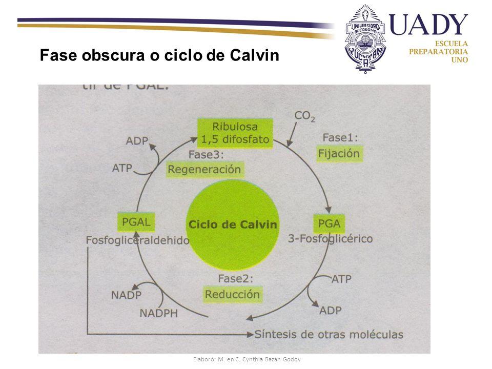 Fase obscura o ciclo de Calvin Elaboró: M. en C. Cynthia Bazán Godoy