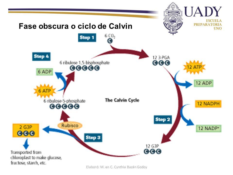 Fase obscura o ciclo de Calvin