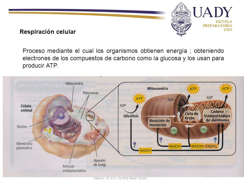 Respiración celular Proceso mediante el cual los organismos obtienen energía ; obteniendo electrones de los compuestos de carbono como la glucosa y los usan para producir ATP.