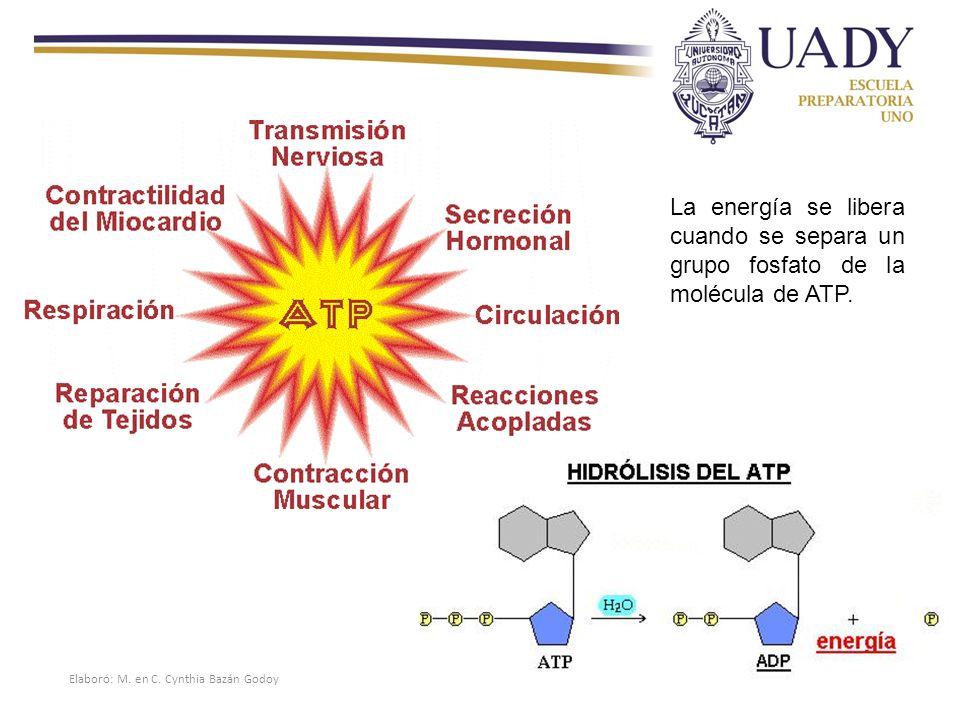 La energía se libera cuando se separa un grupo fosfato de la molécula de ATP.
