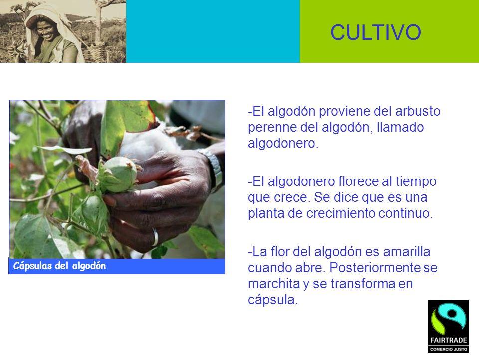 -El algodón proviene del arbusto perenne del algodón, llamado algodonero. -El algodonero florece al tiempo que crece. Se dice que es una planta de cre