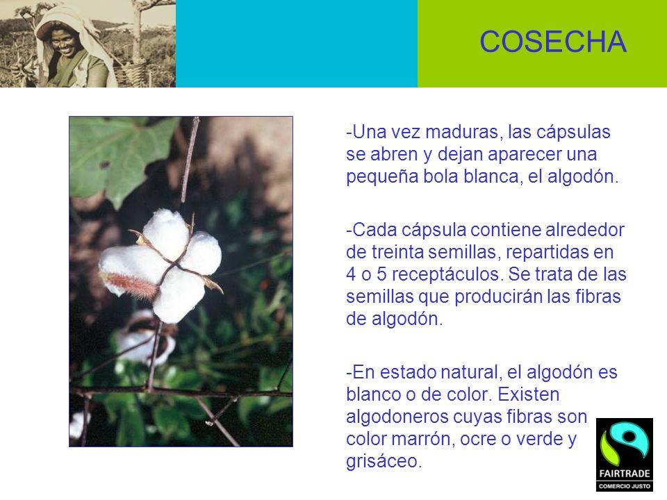 COSECHA -Una vez maduras, las cápsulas se abren y dejan aparecer una pequeña bola blanca, el algodón. -Cada cápsula contiene alrededor de treinta semi