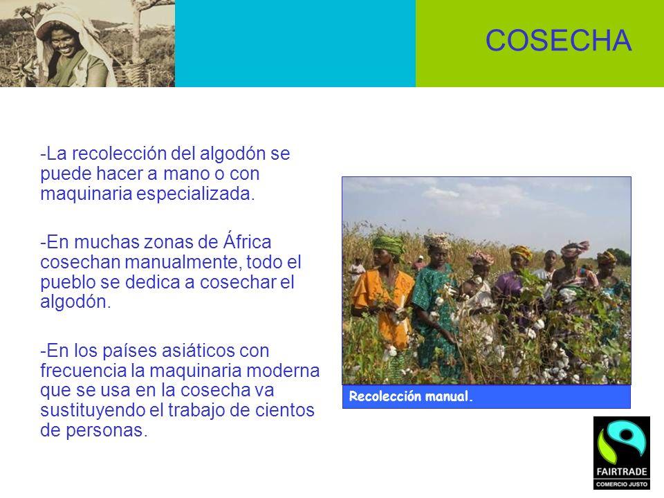 -La recolección del algodón se puede hacer a mano o con maquinaria especializada. -En muchas zonas de África cosechan manualmente, todo el pueblo se d