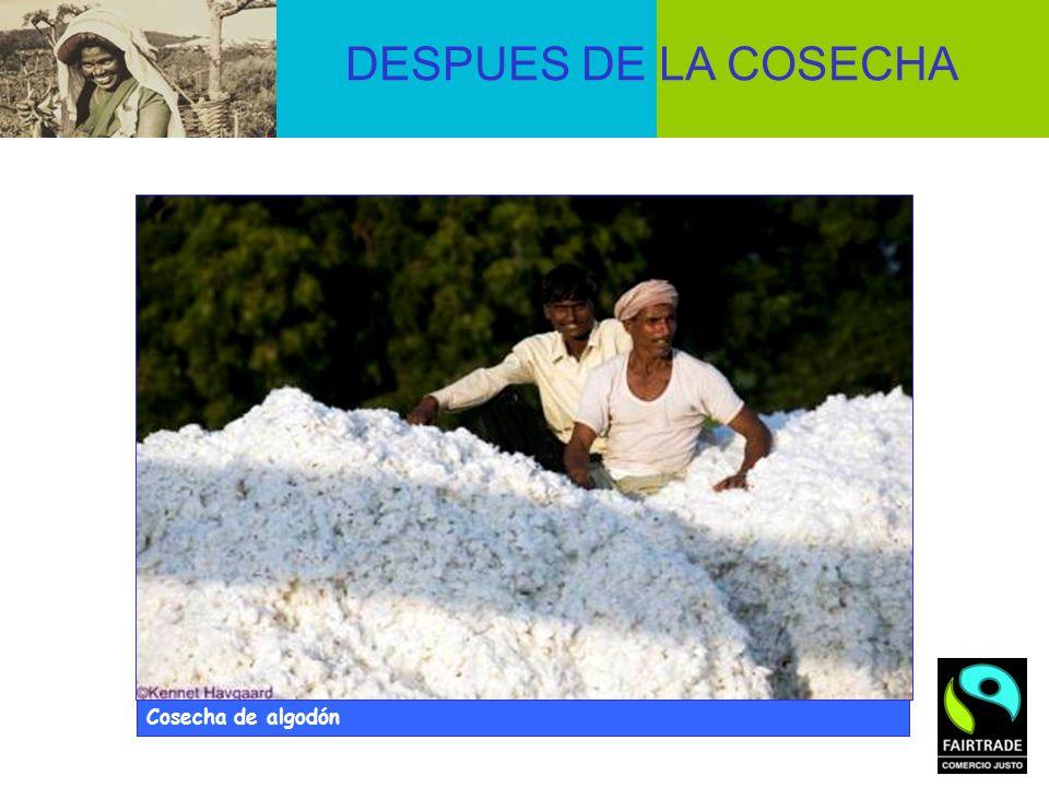 DESPUES DE LA COSECHA Cosecha de algodón © Didier Gentilhomme