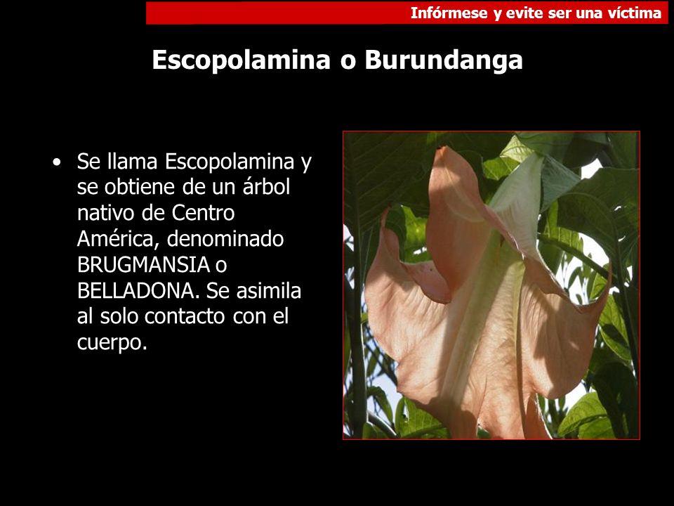 Infórmese y evite ser una víctima Escopolamina o Burundanga Se llama Escopolamina y se obtiene de un árbol nativo de Centro América, denominado BRUGMA