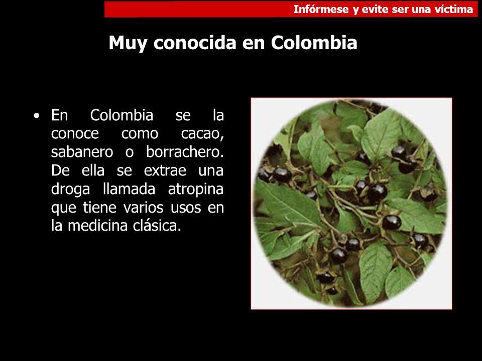 Infórmese y evite ser una víctima Muy conocida en Colombia En Colombia se la conoce como cacao, sabanero o borrachero. De ella se extrae una droga lla