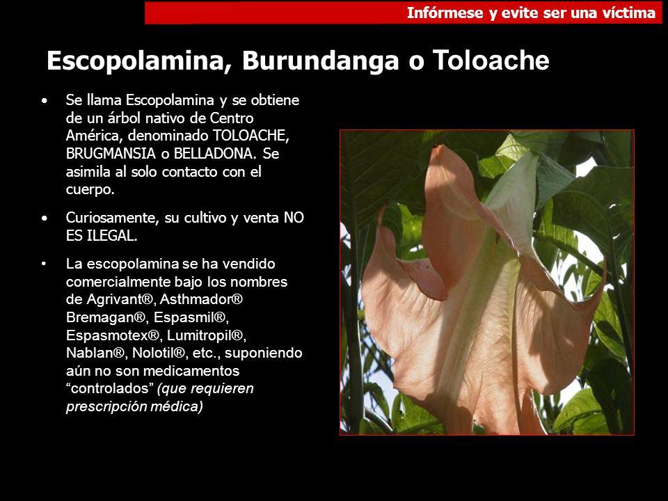 Infórmese y evite ser una víctima Escopolamina, Burundanga o Toloache Se llama Escopolamina y se obtiene de un árbol nativo de Centro América, denomin