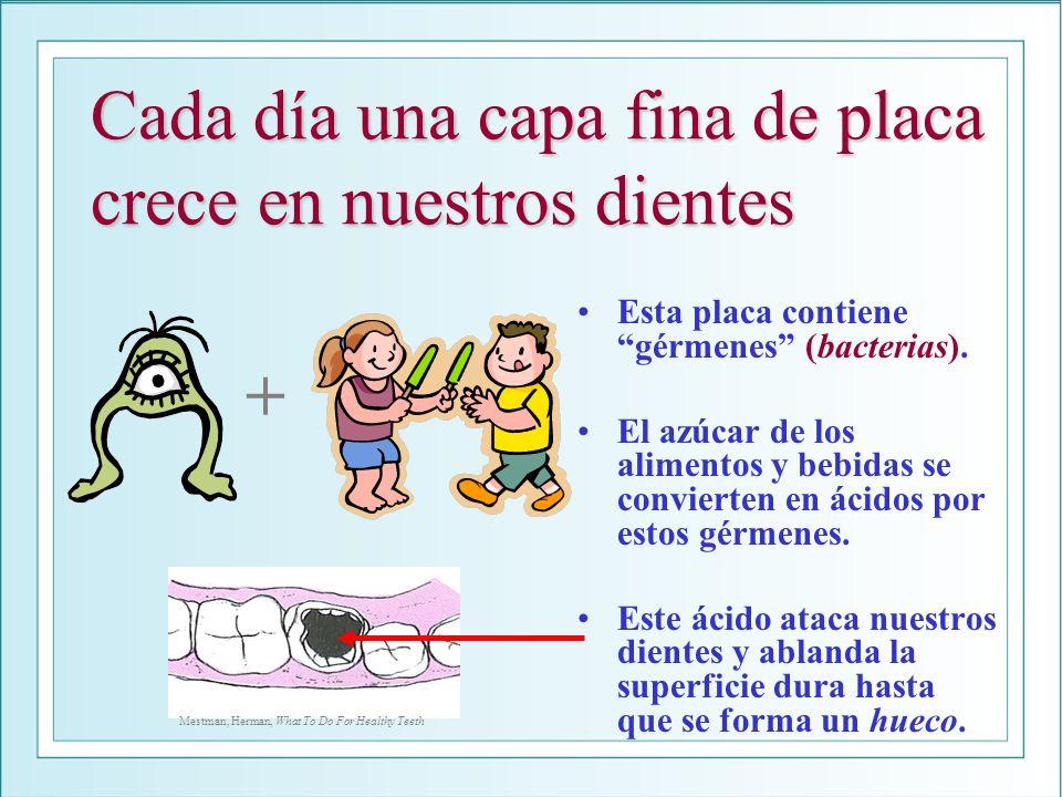 Cada día una capa fina de placa crece en nuestros dientes Esta placa contiene gérmenes (bacterias).