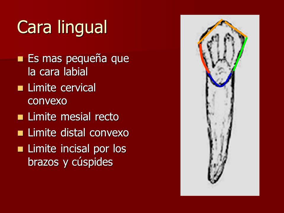 Cara lingual Es mas pequeña que la cara labial Es mas pequeña que la cara labial Limite cervical convexo Limite cervical convexo Limite mesial recto L
