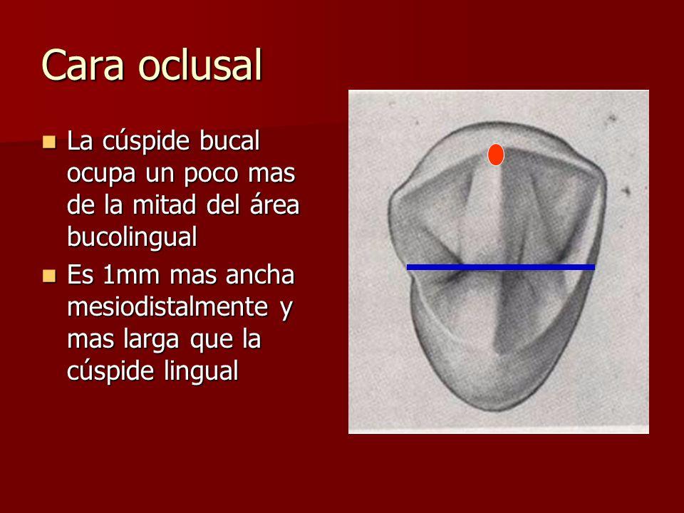 Cara oclusal La cúspide bucal ocupa un poco mas de la mitad del área bucolingual La cúspide bucal ocupa un poco mas de la mitad del área bucolingual E