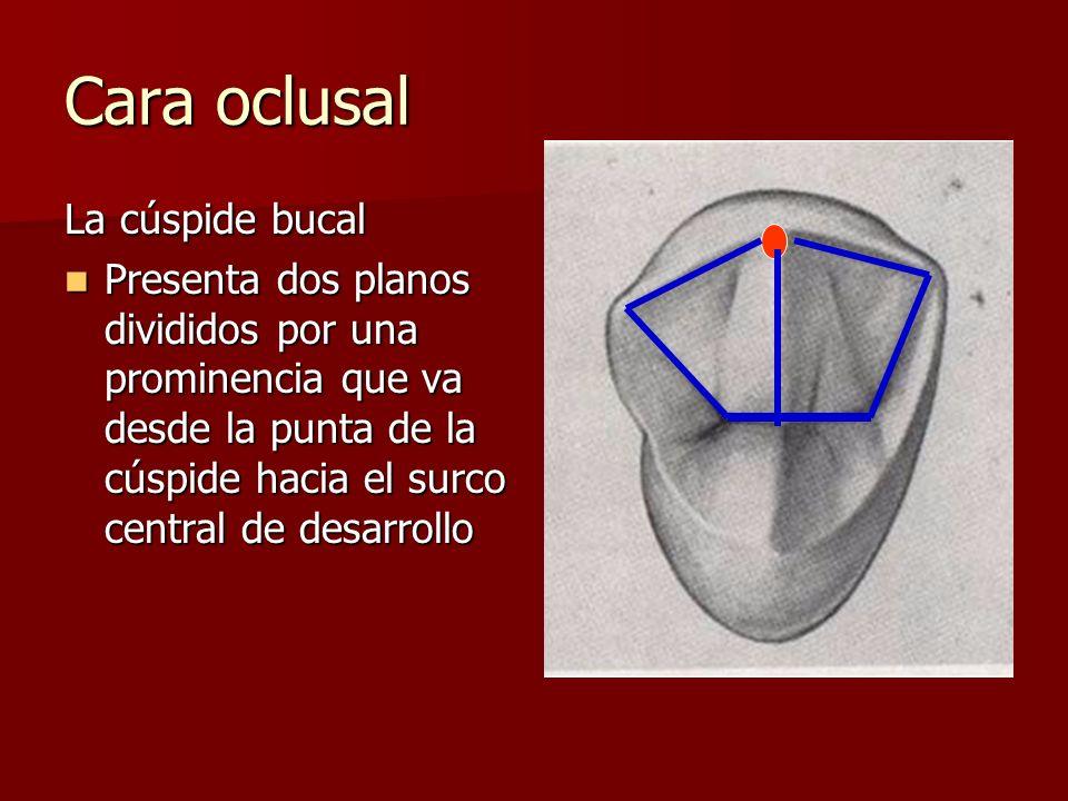 Cara oclusal La cúspide bucal Presenta dos planos divididos por una prominencia que va desde la punta de la cúspide hacia el surco central de desarrol