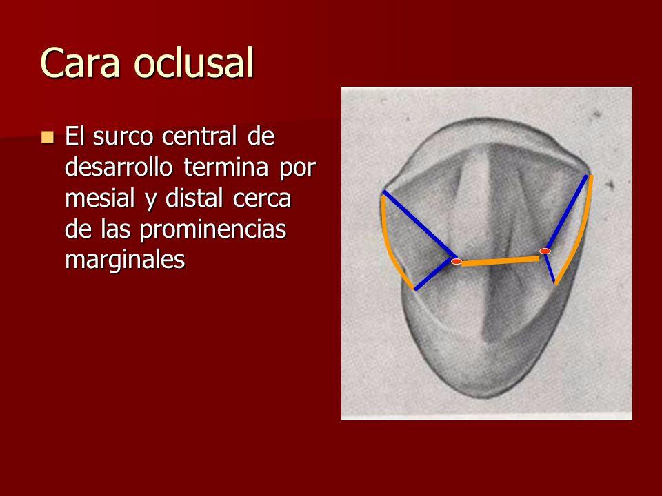 Cara oclusal El surco central de desarrollo termina por mesial y distal cerca de las prominencias marginales El surco central de desarrollo termina po