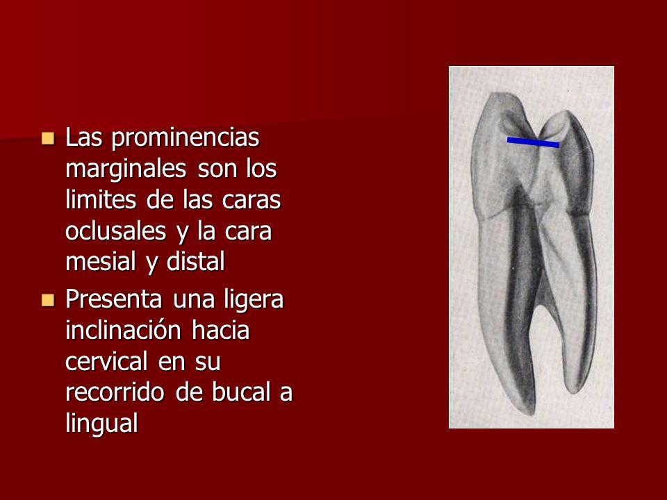 Las prominencias marginales son los limites de las caras oclusales y la cara mesial y distal Las prominencias marginales son los limites de las caras