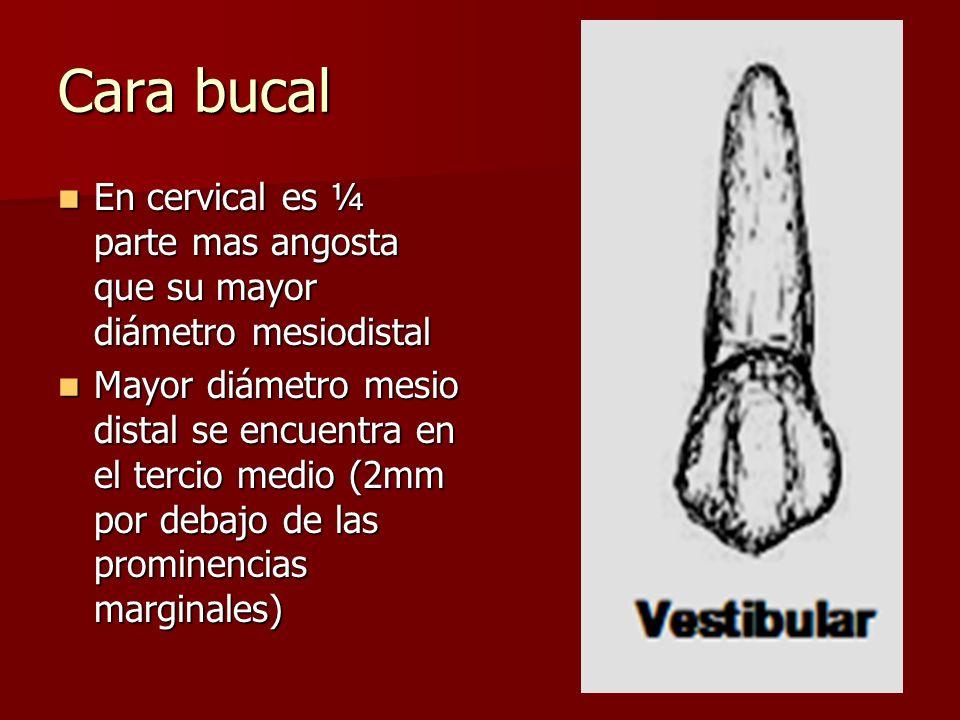 Cara bucal En cervical es ¼ parte mas angosta que su mayor diámetro mesiodistal En cervical es ¼ parte mas angosta que su mayor diámetro mesiodistal M
