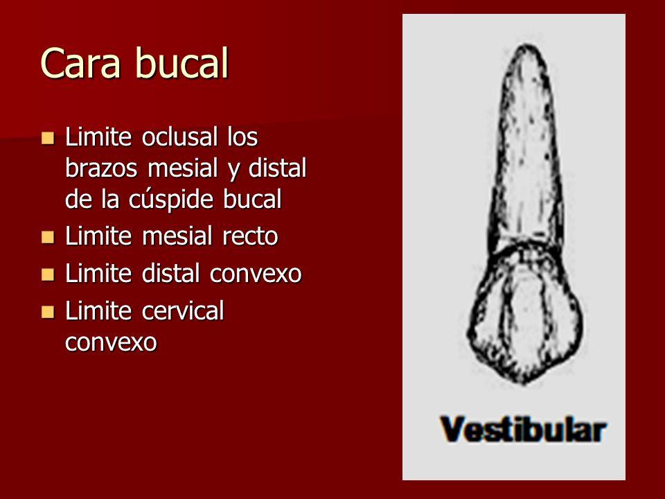 Cara bucal Limite oclusal los brazos mesial y distal de la cúspide bucal Limite oclusal los brazos mesial y distal de la cúspide bucal Limite mesial r