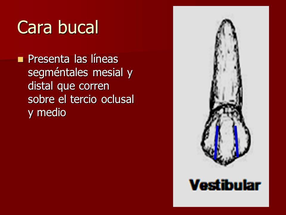 Cara bucal Presenta las líneas segméntales mesial y distal que corren sobre el tercio oclusal y medio Presenta las líneas segméntales mesial y distal