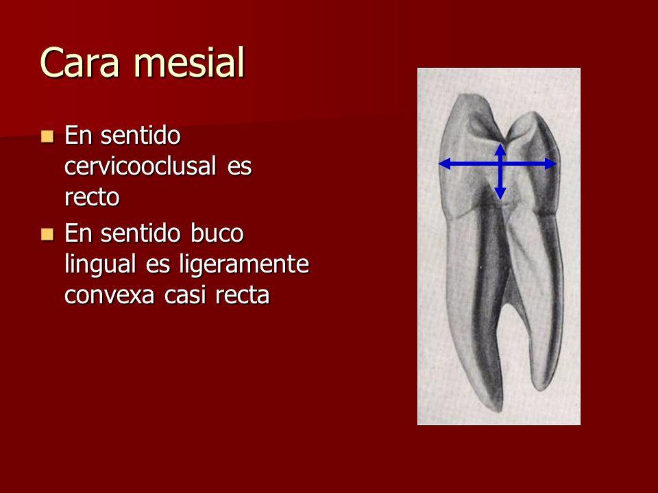 Cara mesial En sentido cervicooclusal es recto En sentido cervicooclusal es recto En sentido buco lingual es ligeramente convexa casi recta En sentido