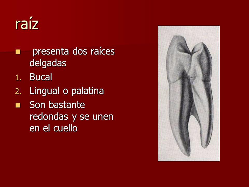 raíz presenta dos raíces delgadas presenta dos raíces delgadas 1. Bucal 2. Lingual o palatina Son bastante redondas y se unen en el cuello Son bastant