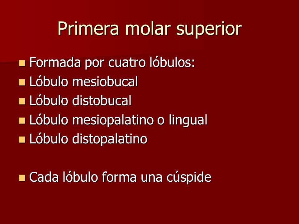 Primera molar superior Formada por cuatro lóbulos: Formada por cuatro lóbulos: Lóbulo mesiobucal Lóbulo mesiobucal Lóbulo distobucal Lóbulo distobucal