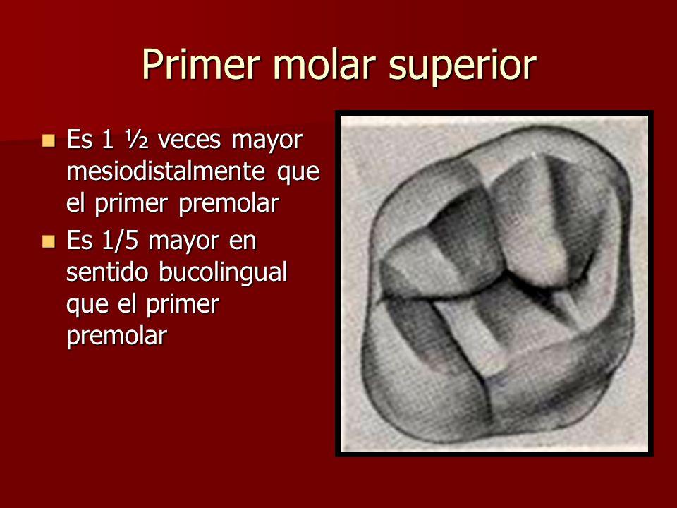 Primer molar superior Es 1 ½ veces mayor mesiodistalmente que el primer premolar Es 1 ½ veces mayor mesiodistalmente que el primer premolar Es 1/5 may
