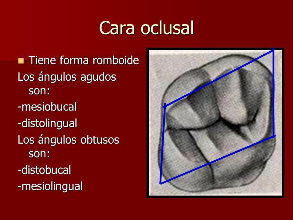 Cara oclusal Tiene forma romboide Tiene forma romboide Los ángulos agudos son: -mesiobucal-distolingual Los ángulos obtusos son: -distobucal-mesioling