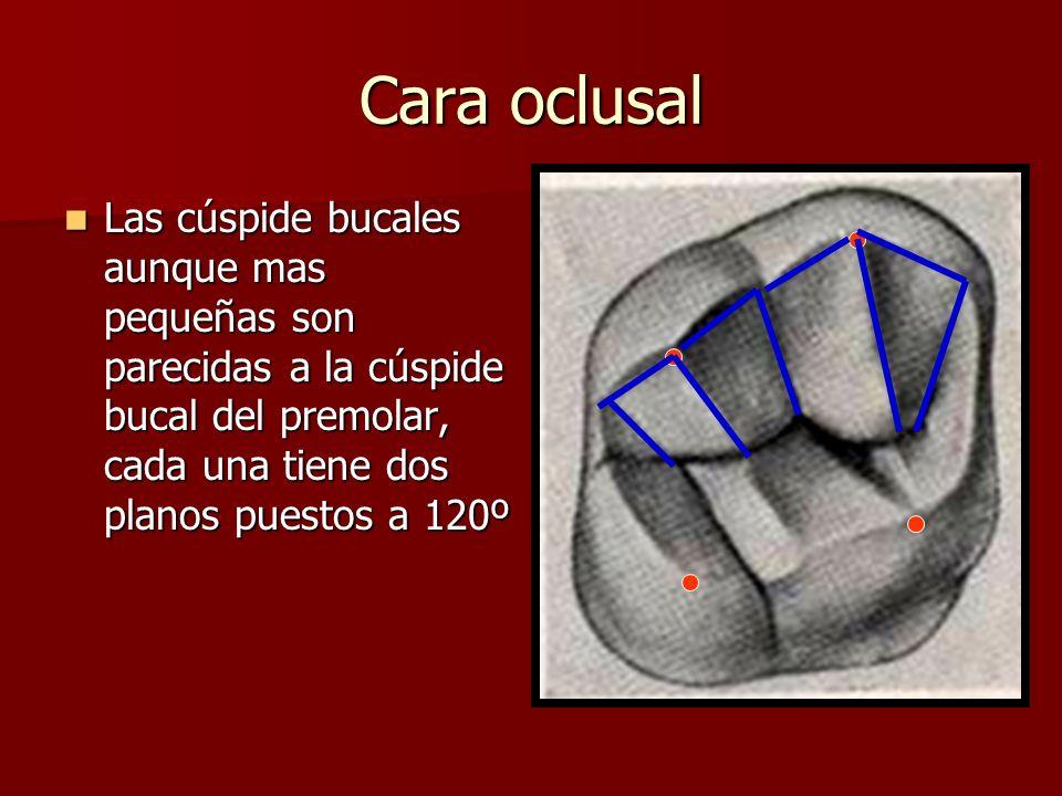Cara oclusal Las cúspide bucales aunque mas pequeñas son parecidas a la cúspide bucal del premolar, cada una tiene dos planos puestos a 120º Las cúspi