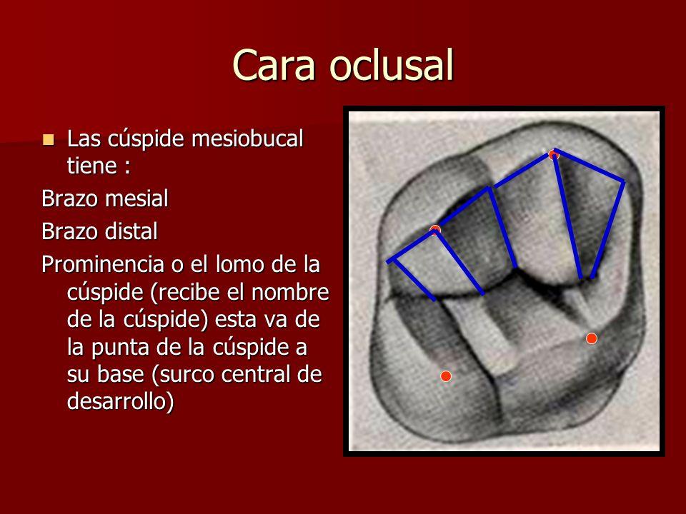 Cara oclusal Las cúspide mesiobucal tiene : Las cúspide mesiobucal tiene : Brazo mesial Brazo distal Prominencia o el lomo de la cúspide (recibe el no