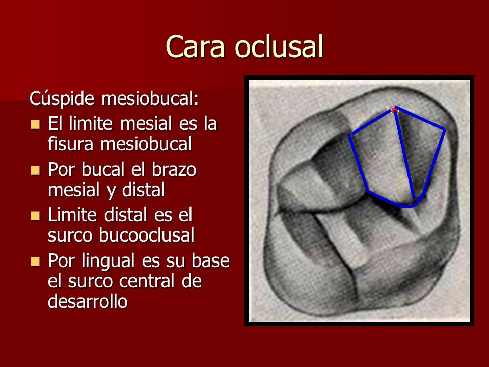 Cara oclusal Cúspide mesiobucal: El limite mesial es la fisura mesiobucal El limite mesial es la fisura mesiobucal Por bucal el brazo mesial y distal
