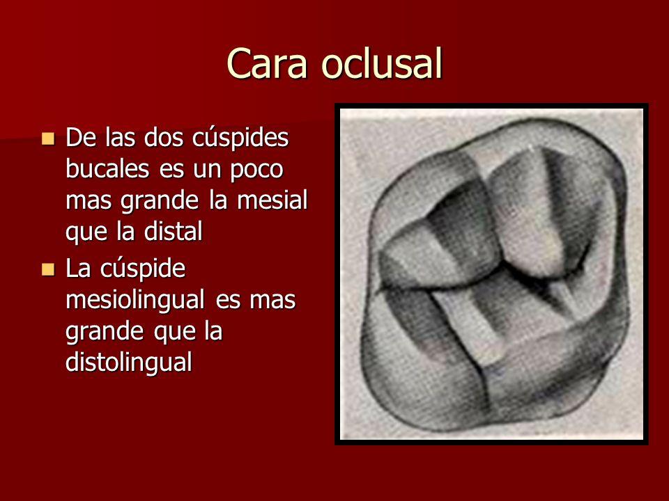 Cara oclusal De las dos cúspides bucales es un poco mas grande la mesial que la distal De las dos cúspides bucales es un poco mas grande la mesial que