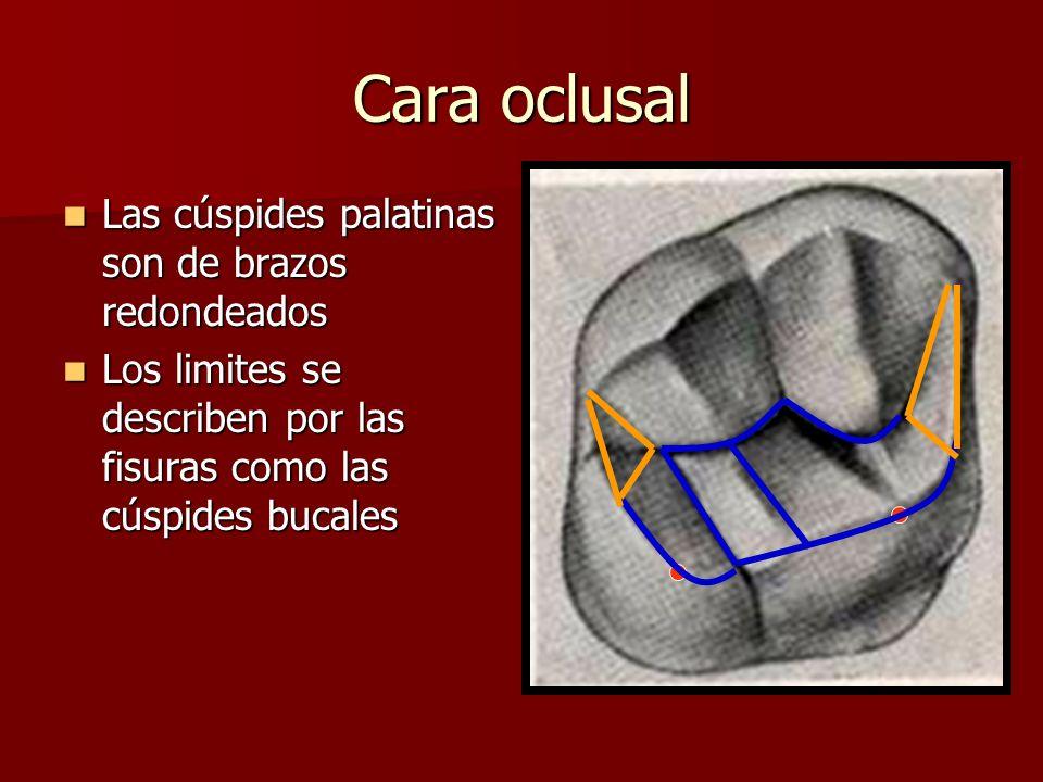 Cara oclusal Las cúspides palatinas son de brazos redondeados Las cúspides palatinas son de brazos redondeados Los limites se describen por las fisura