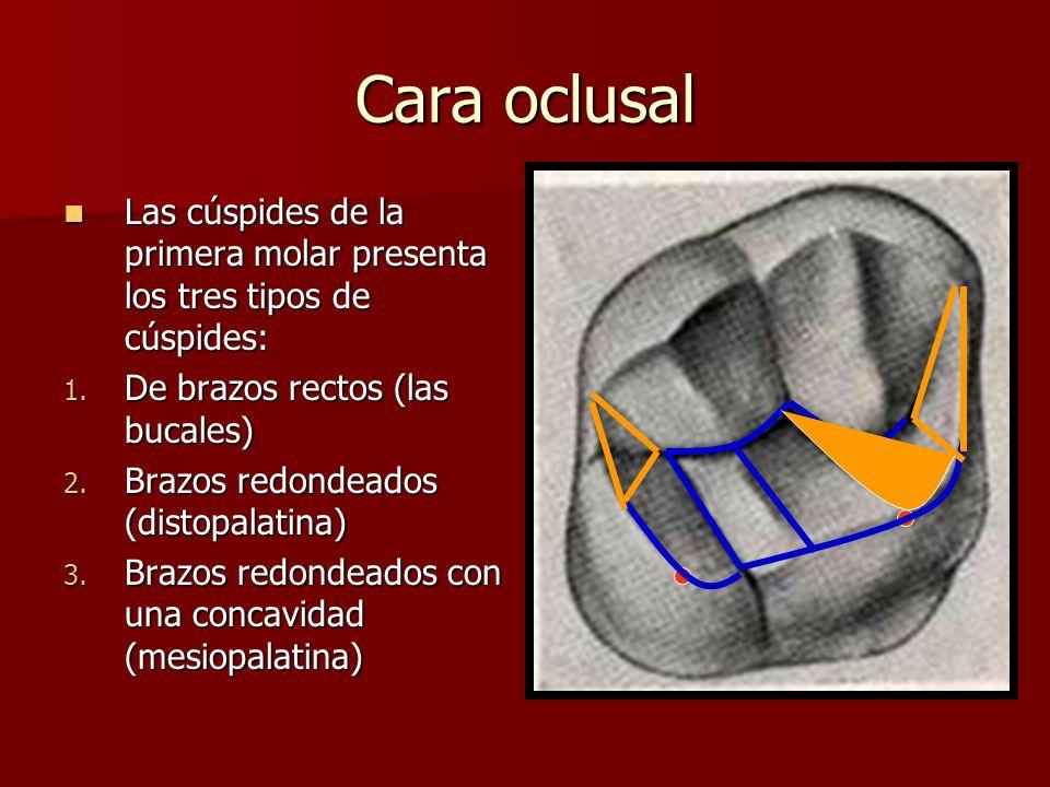 Cara oclusal Las cúspides de la primera molar presenta los tres tipos de cúspides: Las cúspides de la primera molar presenta los tres tipos de cúspide