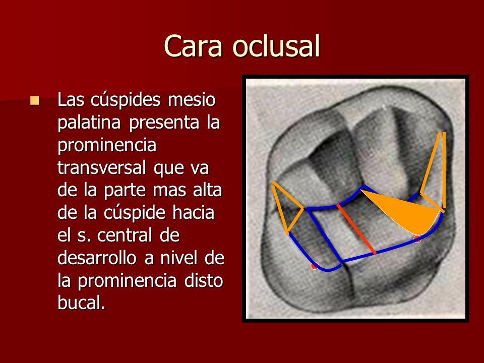 Cara oclusal Las cúspides mesio palatina presenta la prominencia transversal que va de la parte mas alta de la cúspide hacia el s. central de desarrol