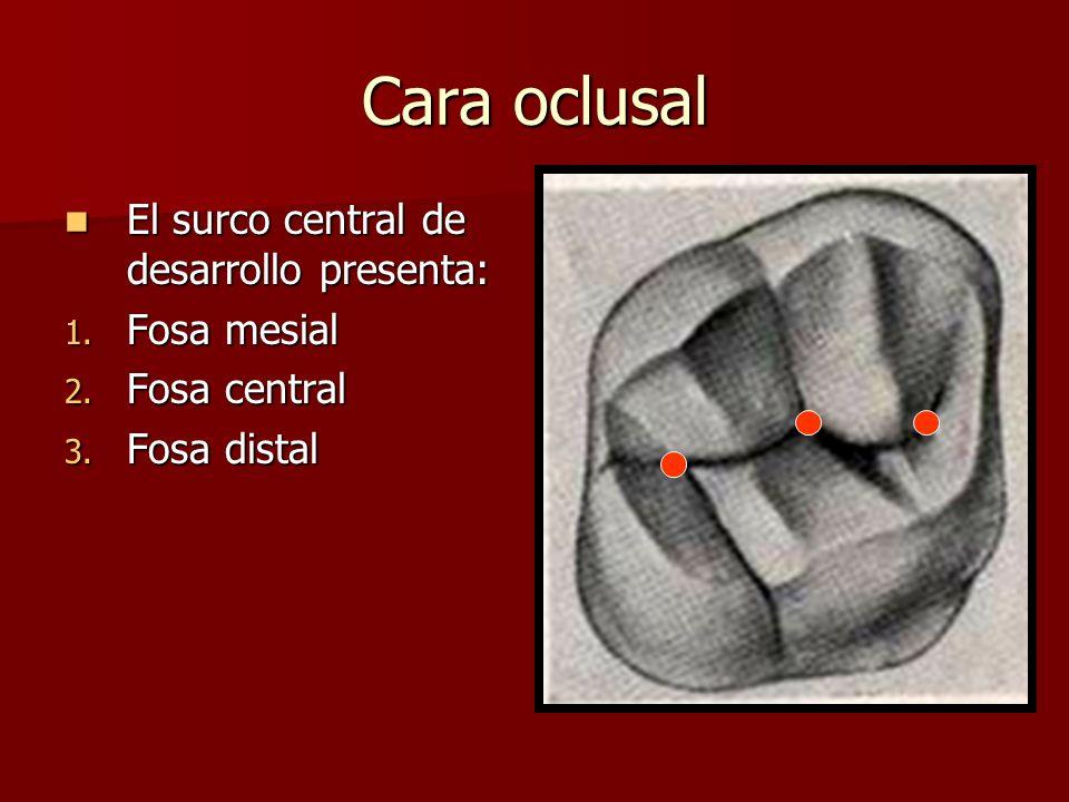 Cara oclusal El surco central de desarrollo presenta: El surco central de desarrollo presenta: 1. Fosa mesial 2. Fosa central 3. Fosa distal