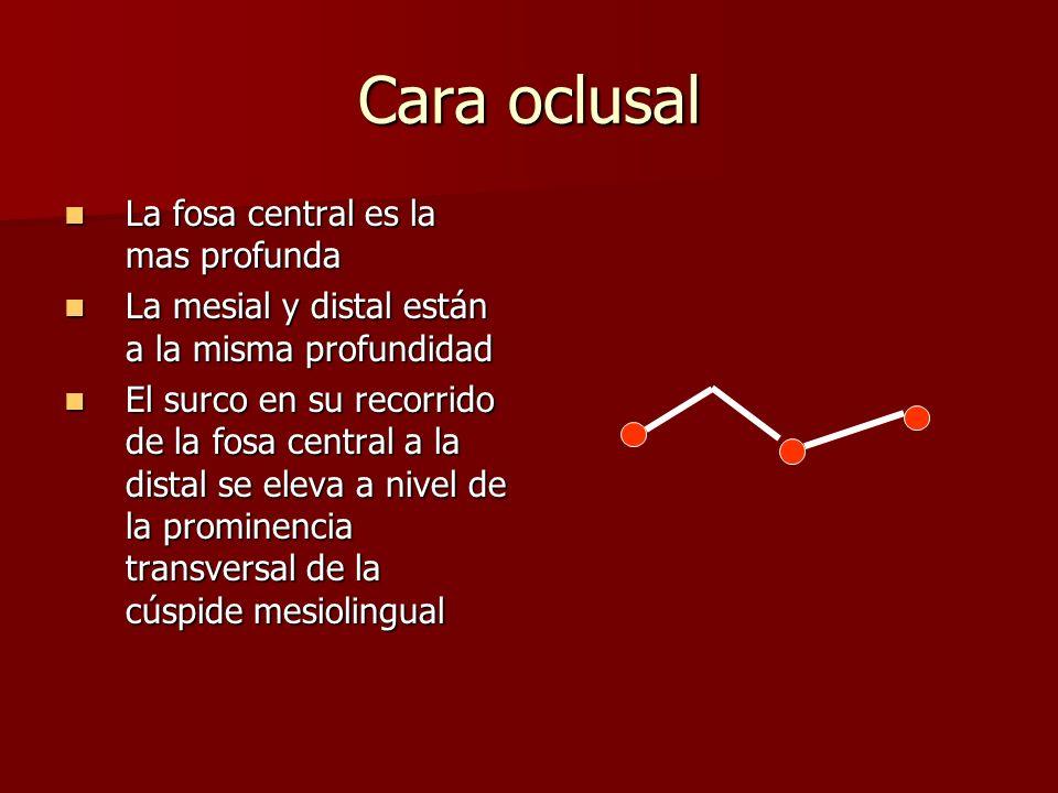 Cara oclusal La fosa central es la mas profunda La fosa central es la mas profunda La mesial y distal están a la misma profundidad La mesial y distal