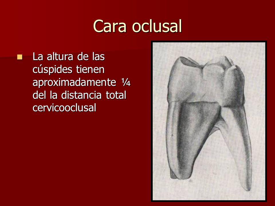 Cara oclusal La altura de las cúspides tienen aproximadamente ¼ del la distancia total cervicooclusal La altura de las cúspides tienen aproximadamente