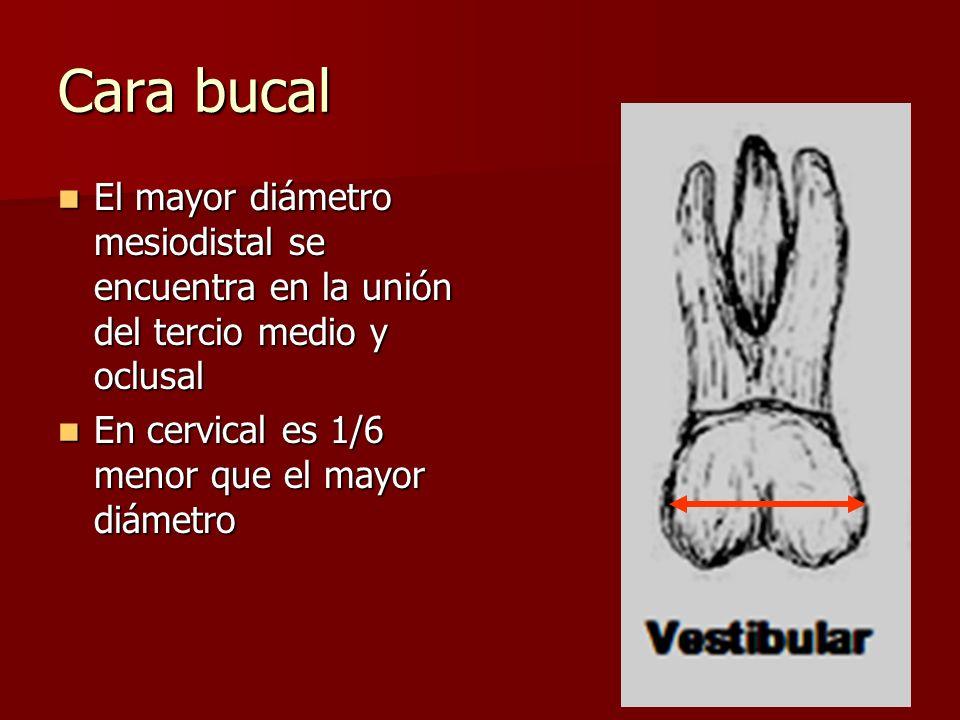 Cara bucal El mayor diámetro mesiodistal se encuentra en la unión del tercio medio y oclusal El mayor diámetro mesiodistal se encuentra en la unión de
