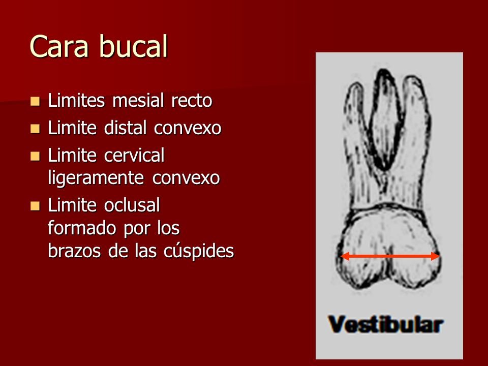 Cara bucal Limites mesial recto Limites mesial recto Limite distal convexo Limite distal convexo Limite cervical ligeramente convexo Limite cervical l
